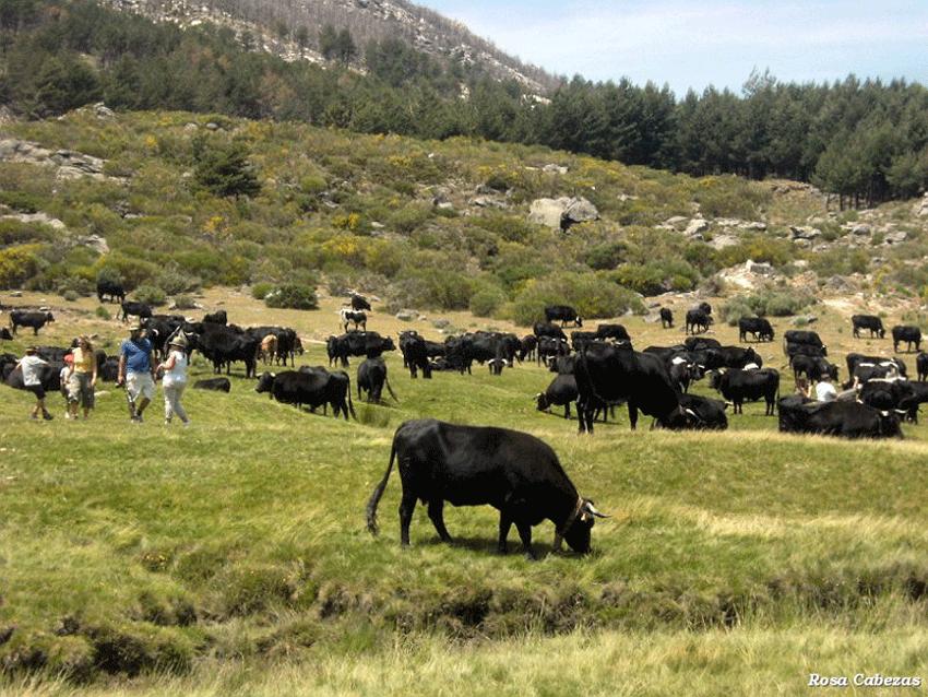 Trashumancia en la Sierra de Gredos - Foto Rosa Cabezas - TiétarTeVe