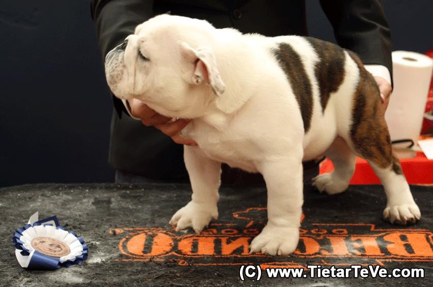 Certamen del Bulldog Inglés en Arenas de San Pedro 2013 - TiétarTeVe