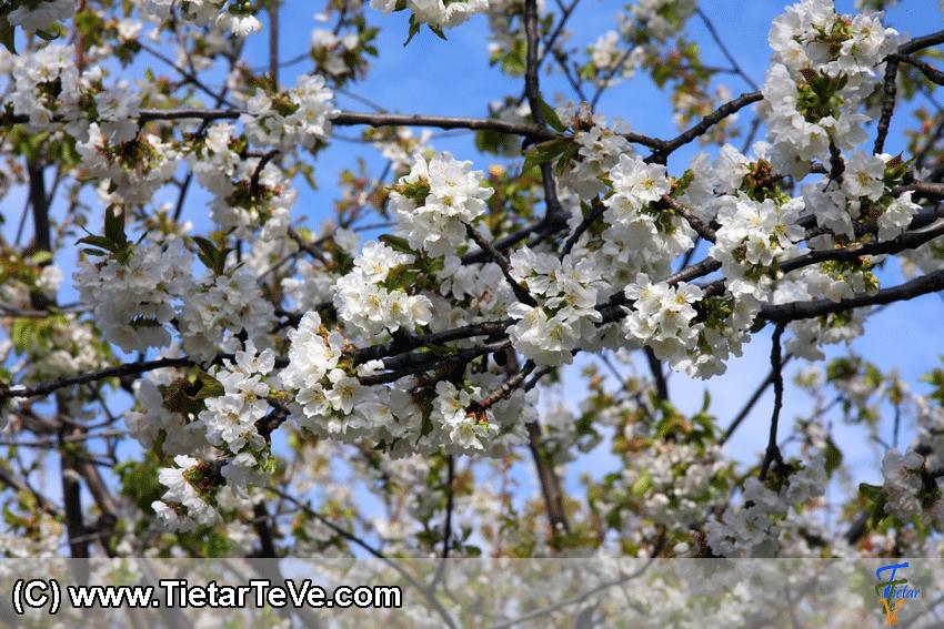 Cerezos en Flor en El Hornillo - TiétarTeVe