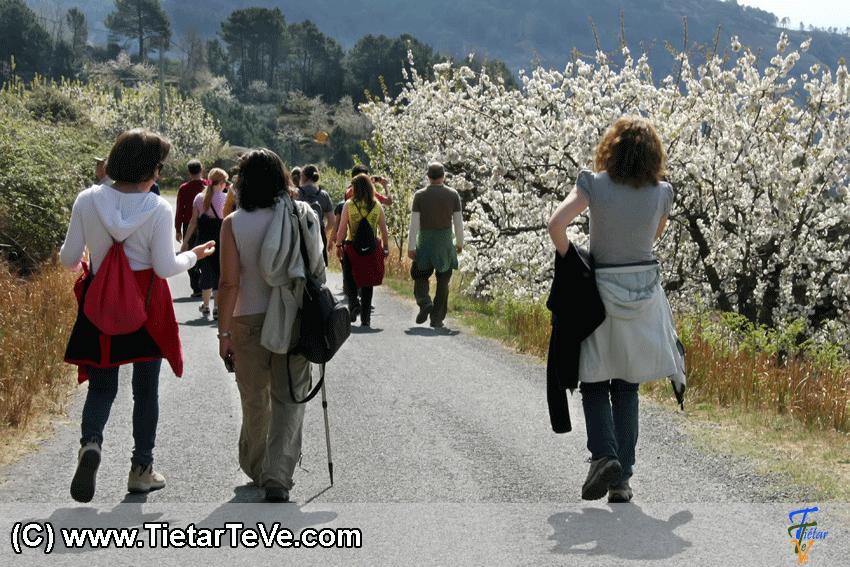 Ruta de los Cerezos en Flor en El Hornillo - TiétarTeVe