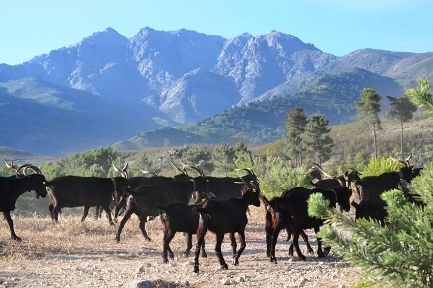 Pastoreo de Cabras en la Sierra de Gredos - TiétarTeVe