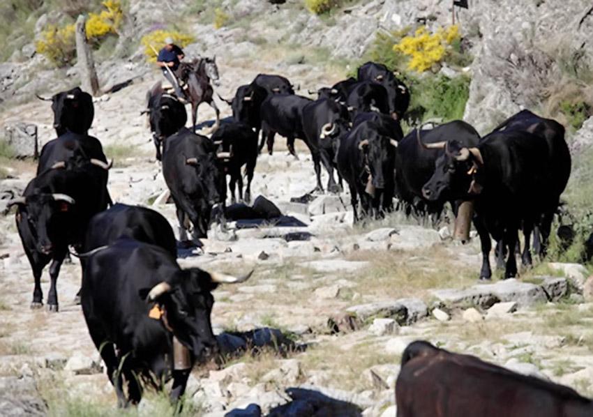 Trashumancia en la Sierra de Gredos - TiétarTeVe